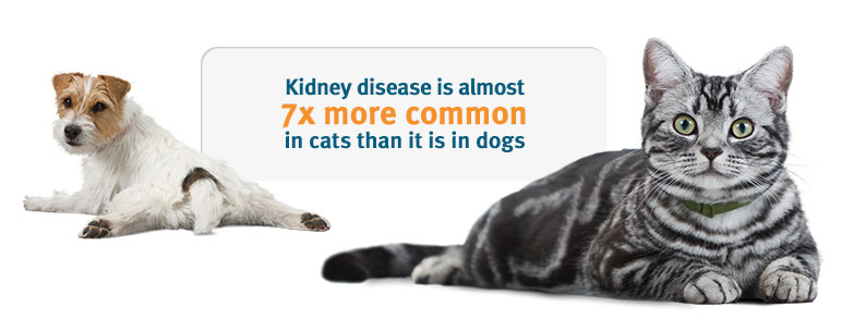Kidney Disease The Cat Clinic